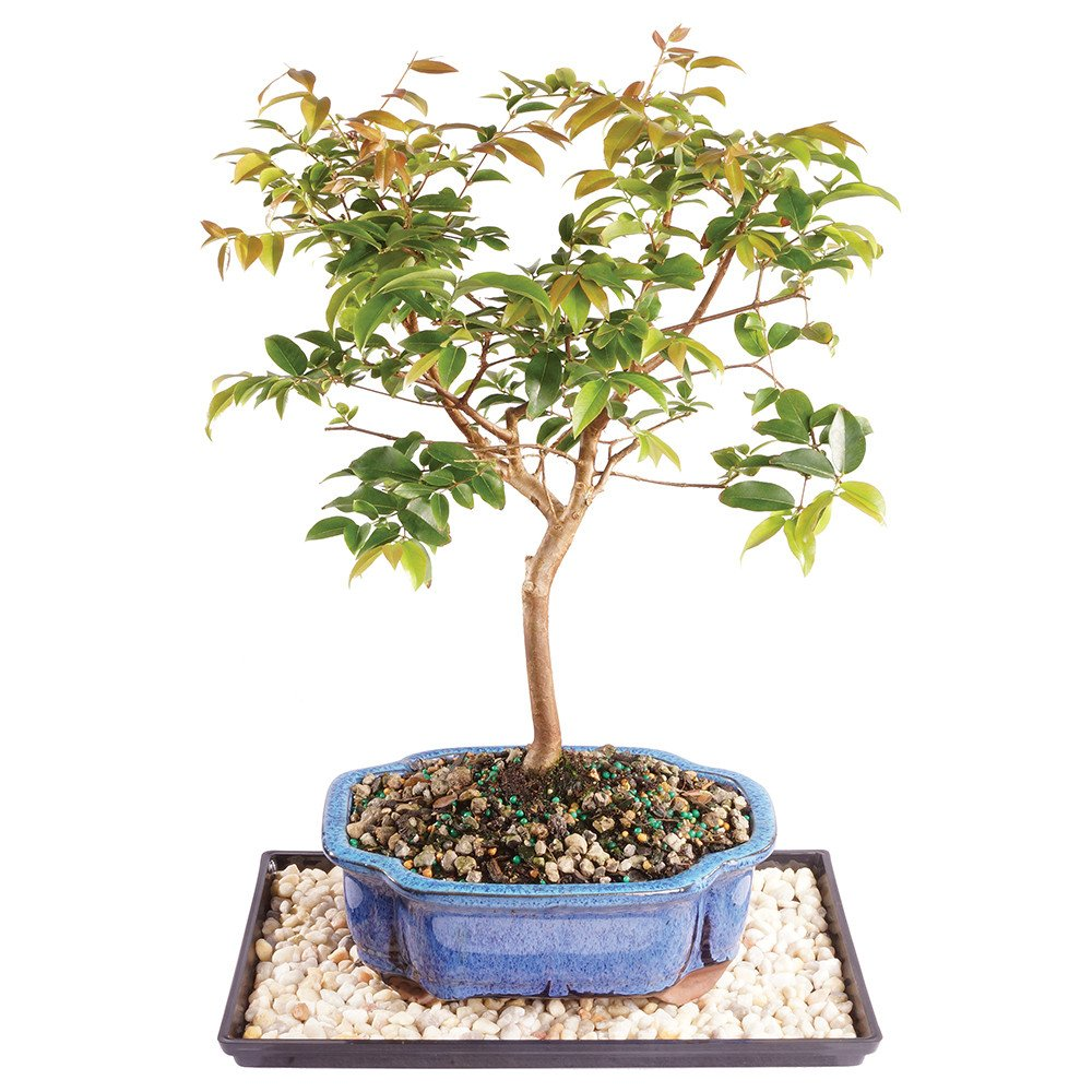 Brussel's Live Jaboticaba Indoor Bonsai Tree - 6 Years Old; 10'' to 14'' Tall with Decorative Container, Humidity Tray & Deco Rock