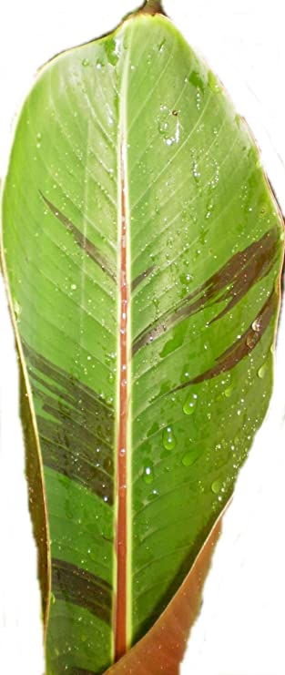 BANANA Musa sikkimensis Manipur 10 seeds