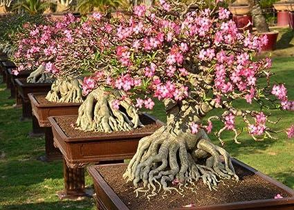 Amazon com : Rare 100 Seeds Adenium Thai Socotranum Desert Rose