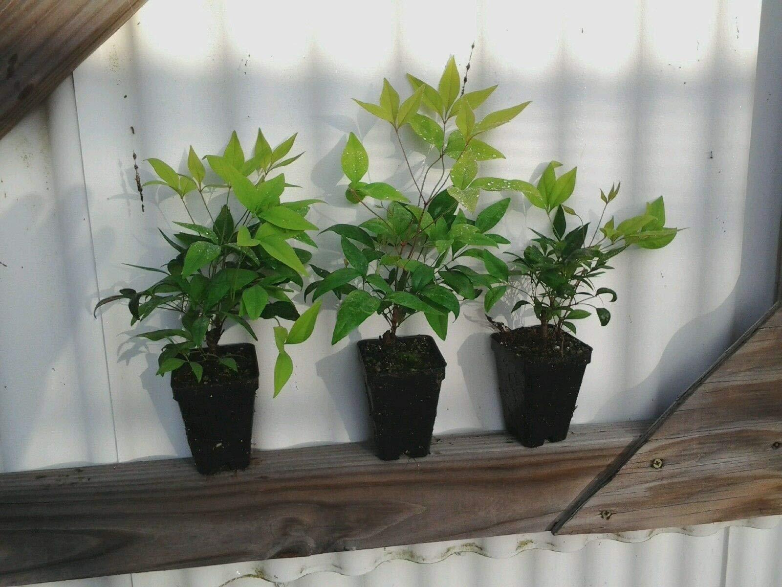 10 Plants Dwarf Nandina Firepower N1 by owzoneplant (Image #3)