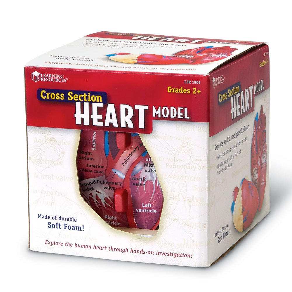 Learning Resources Cross-Section Heart Model