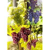 3er Set Weintrauben Pflanzen Vanessa | Phoenix | Regent | kernarm 60-100 cm