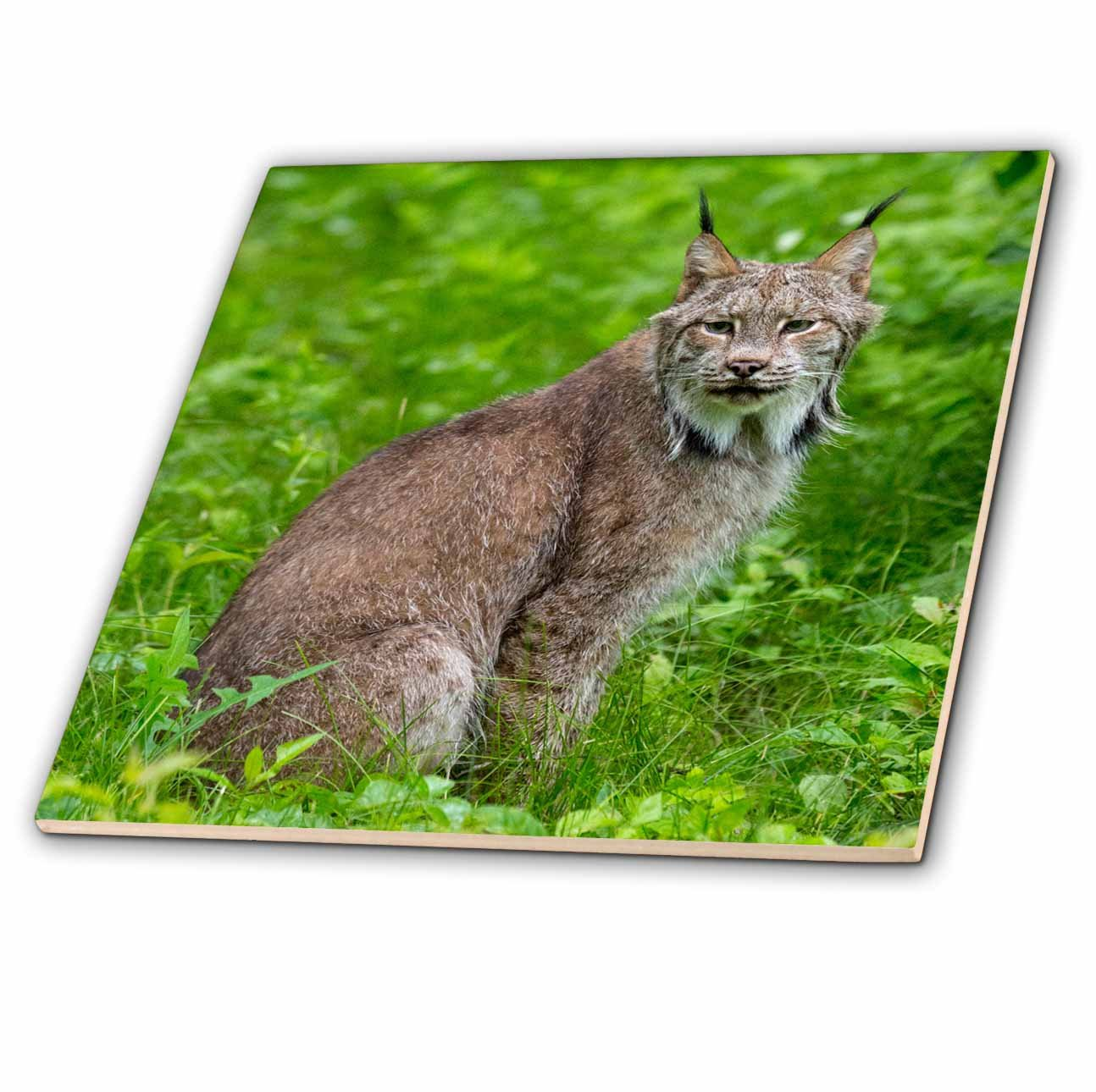 3dRose Danita Delimont - Big Cats - USA, Minnesota, Sandstone, Lynx - 6 Inch Glass Tile (ct_279134_6)