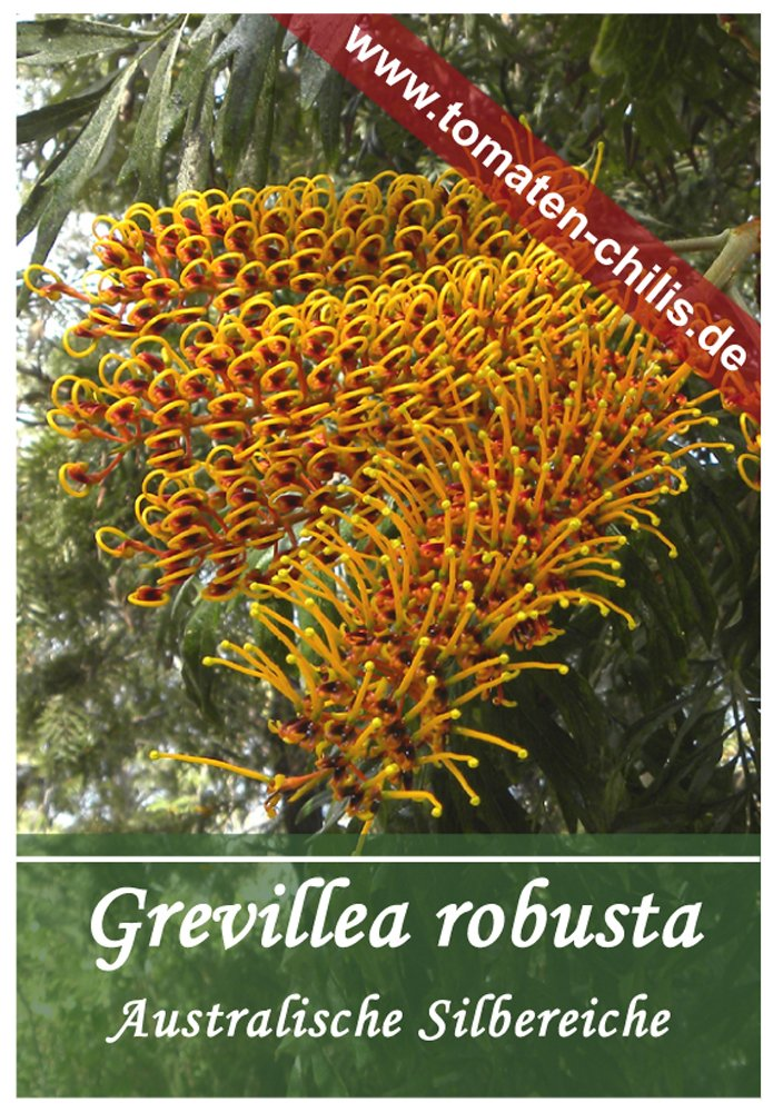 Australische Silbereiche Exoten Samen 20 St/ück Grevillea robusta