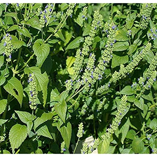 Semillas de chia planta