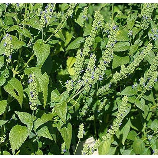 FERRY Semillas orgánicas única No Plantas: 100 Bolsita de ...