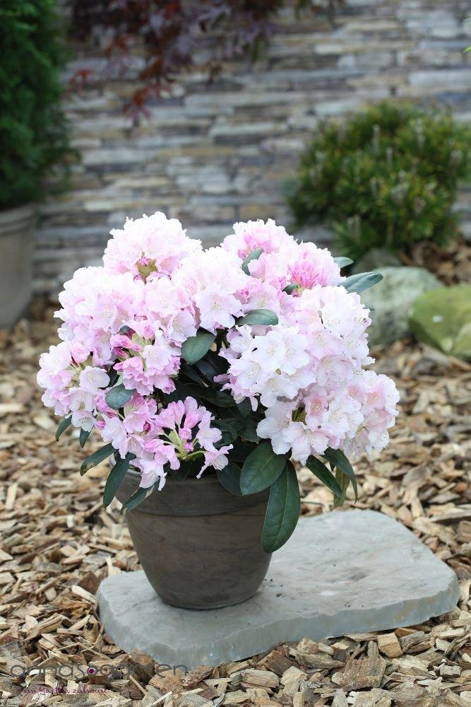 Rhododendron `Schneekrone´ - kalktolerante INKARHO®-Pflanze Größe 60-70 cm Pflanzenhöhe