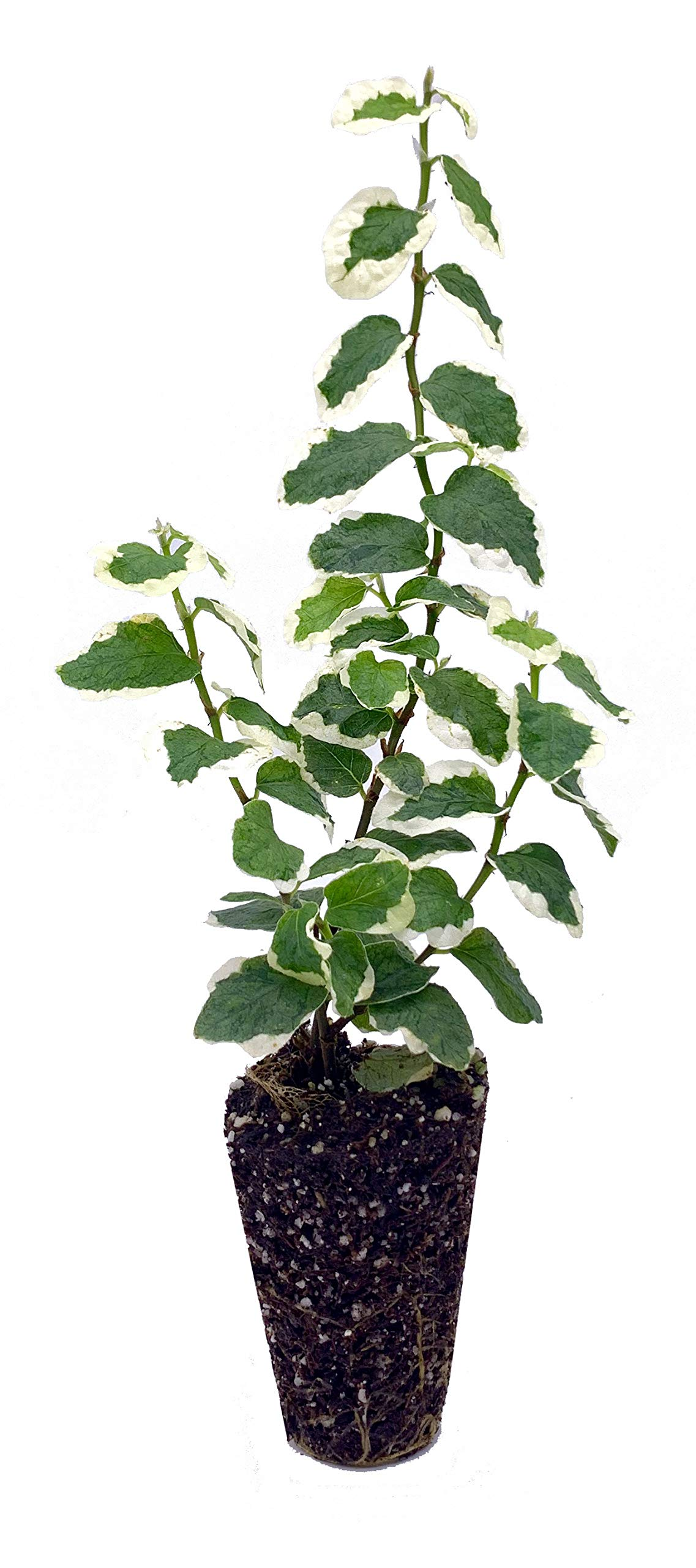 Variegated Creeping Fig Vine - Ficus Pumila Variegata - 10 Live Fully Rooted 2 Inch Plants - Climbing Ivy