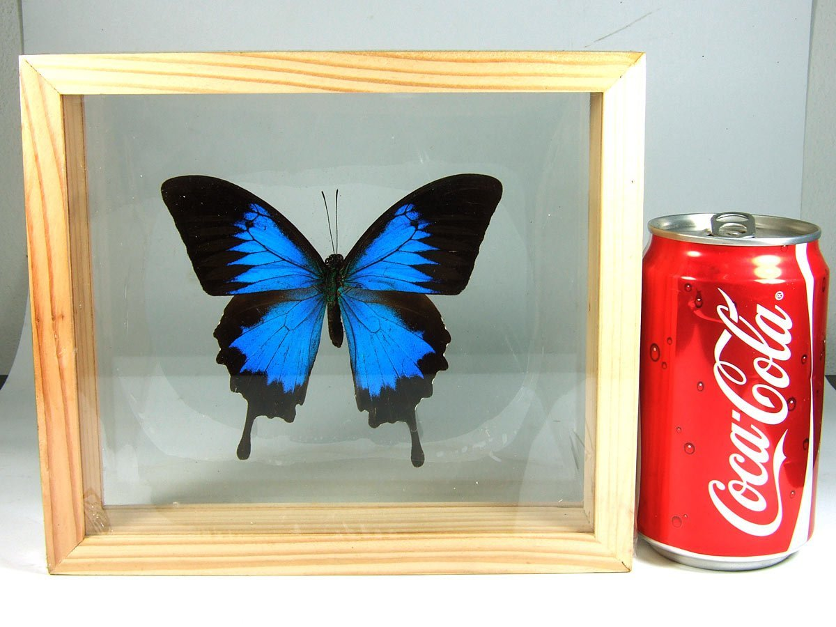 3 Double Side Glass Frame Real Beautiful Butterfly Display Insect Taxidermy Home Decor #01 by Thai Productz