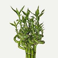5 stück lucky bamboo Glücksbambus Dracaena Sanderiana 50cm lang +/-(