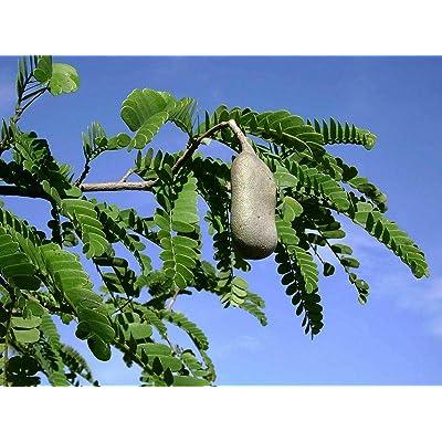 10 Tree Seeds Tamarind (TAMARINDUS Indica) : Garden & Outdoor