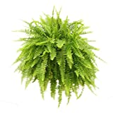 Costa Farms, Home Décor, Premium Live Indoor Boston Fern, Nephrolepis exaltata, Hanging Plant in 10-Inch Grower Container, Shipped Fresh From Our Farm, Excellent Gift
