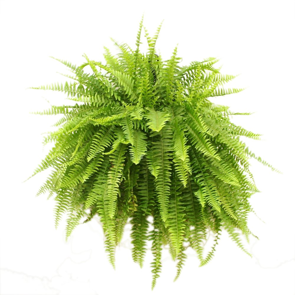 household plants for toddlers boston fern