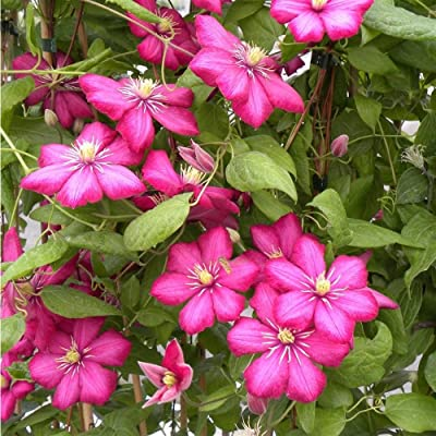 2 Bare Root/Rhizome of Clematis Rouge Cardinal Flowering Vine: Kitchen & Dining