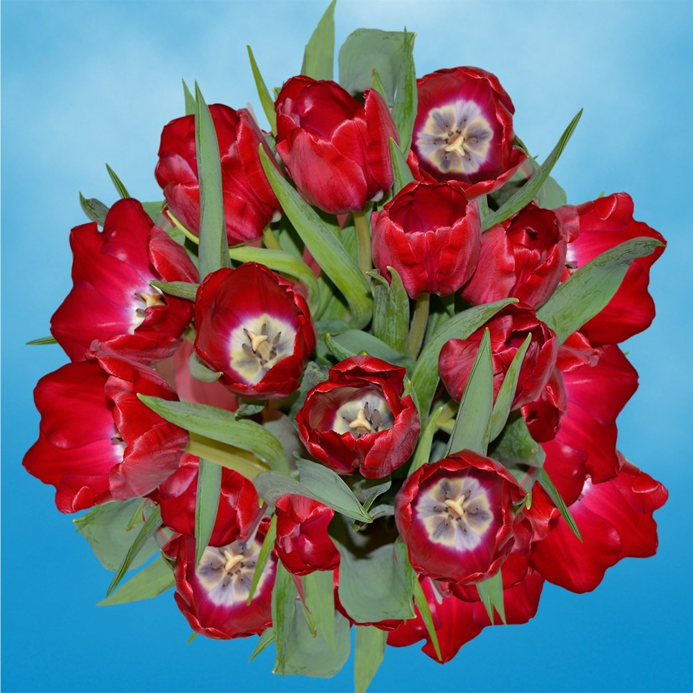GlobalRose 30 Stems of Red Color Tulips Flowers - Fresh Flowers for Delivery