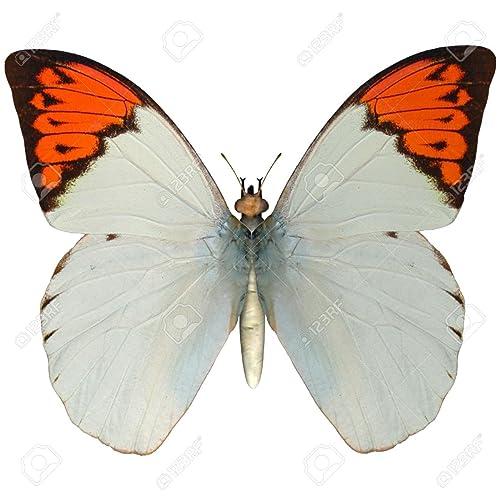 Handmade Sterling Silver Real Great Orange Tip Butterfly Wings Dangle Earrings