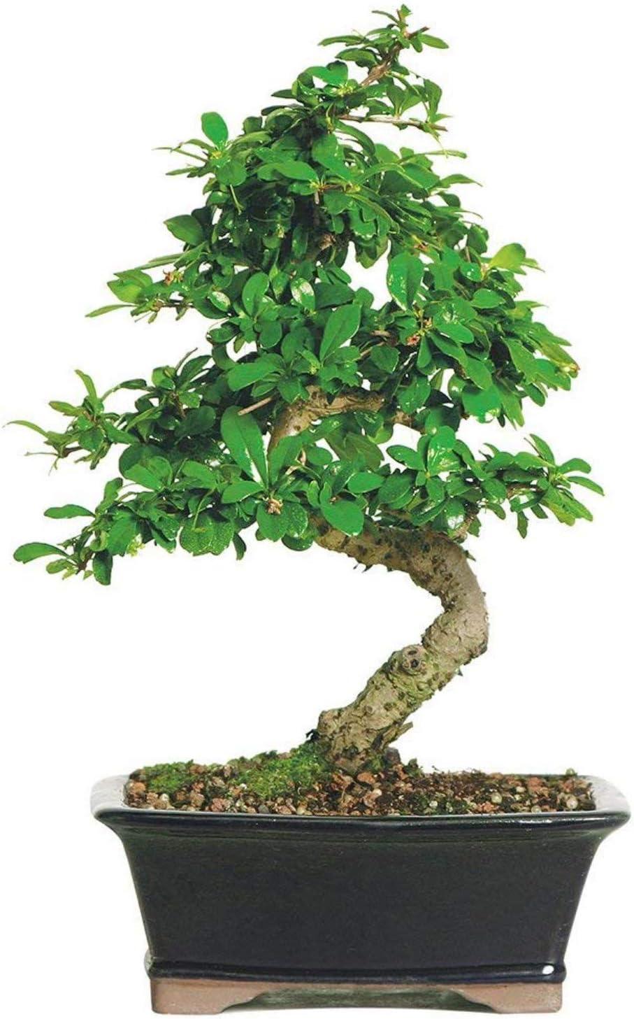 Brussel's Bonsai Live Fukien Tea Indoor Bonsai Tree-6 Years Old 6