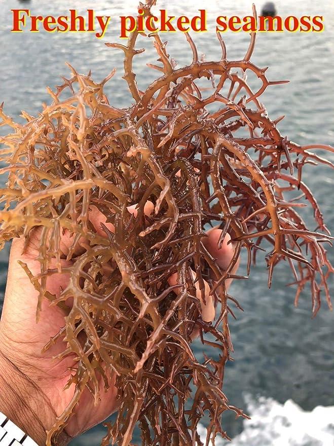KARIBBEAN FLAVOURS Musgo irlandés súper 230g Wildcrafted - Orgánico - NO OGM - vegano - Raw 8 Oz: Amazon.es: Salud y cuidado personal
