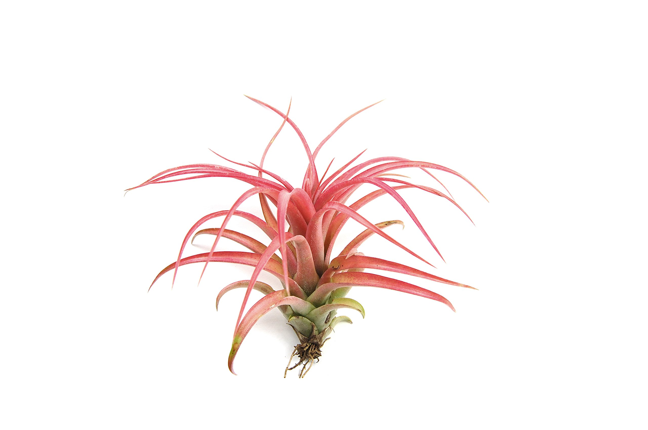 5 Pack Red Abdita Tillandsia Air Plants - Medium Air Plant Variety Pack - 30 Day Guarantee - Fast Shipping - House Plants - Succulents - Free Air Plant Care Ebook By Jody James
