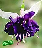 """BALDUR-Garten Riesen-Fuchsie """"Deep Purple"""",2 Pflanzen Fuchsia"""