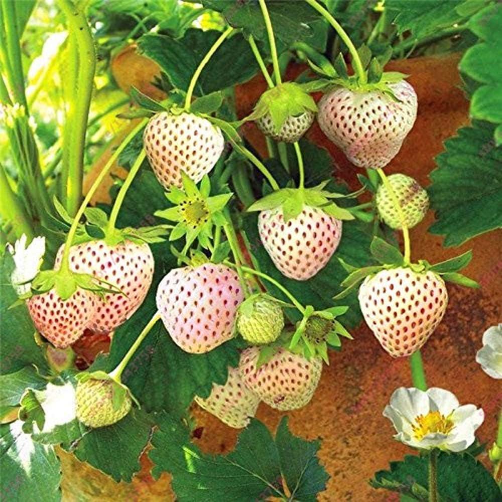 Amazon.com: 300 semillas de fresa blancas, semillas de fresa ...