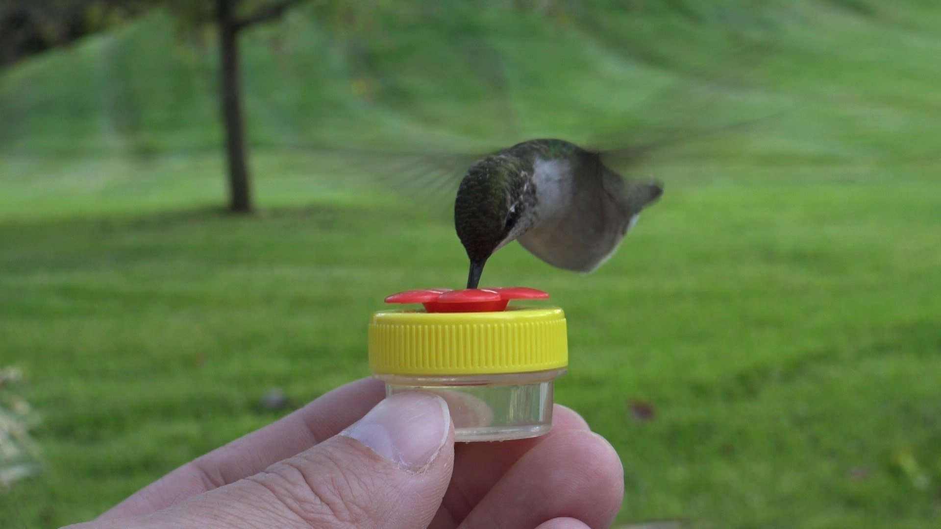 Handheld Hummingbird Feeder Kit- Everything You Need to Hand-Feed Hummingbirds by Nectar DOTS