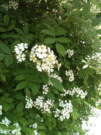 Amazon sweet smelling wild white mini rose bush over 100 seeds sweet smelling wild white mini rose bush over 100 seeds mightylinksfo