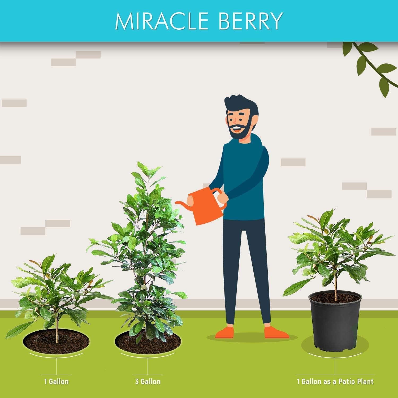 3-4 Feet High Synsepalum dulcificum One Miracle fruit