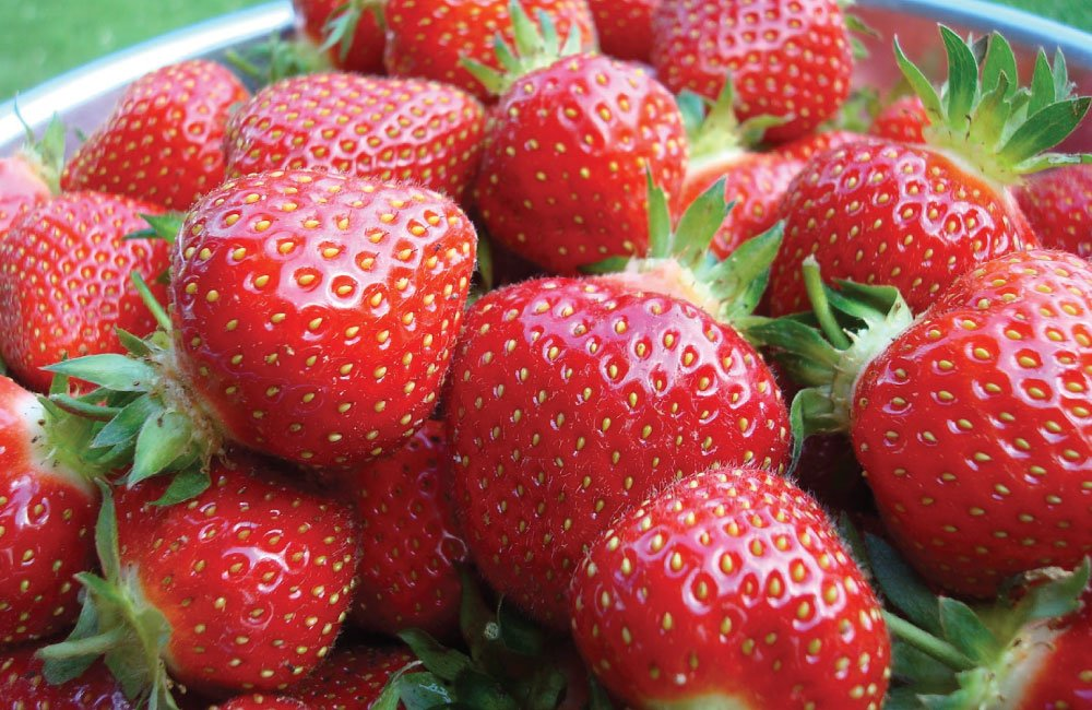 10 Eversweet Everbearing Strawberries Plants - (Pack of 10 Bare Roots for $9.95) Organic Grown USA. Zone 4-9.