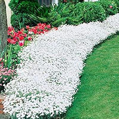 Werall Set of 100 Rock Cress Seeds Outdoor Ground Cover Flower Home Garden Decoration Plants : Garden & Outdoor