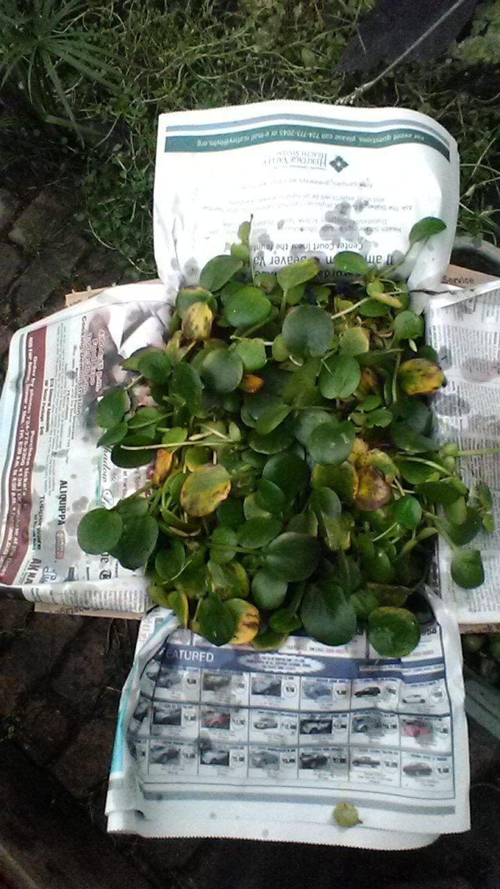 AMOZAN FROGBIT,POND BIOFILTER PLANTS,100% ORGANIC GROWN,DEP AG PA # OOO5DL