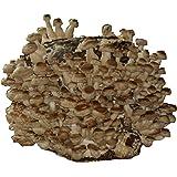 Hawlik Pilzbrut - große Bio Shiitake Kultur - 3 kg - zum selber züchten - kinderleicht frische Pilze ernten