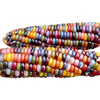 HARLEY SEEDS 100+ Glass Gem Corn Seeds Non-GMO Popcorn Delicious Jewel-Toned, Glass-Like Kernels, Grown in USA. Rare…