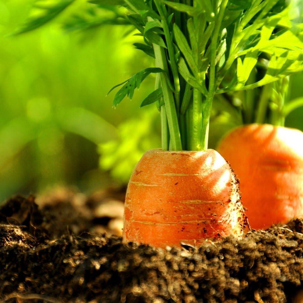 40 semillas de zanahoria orgánicas para plantar verduras en ...