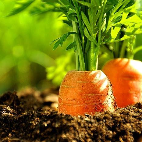 40 Semillas De Zanahoria Organicas Para Plantar Verduras En Interiores Y Exteriores Amazon Es Jardin Zanahoria pinchada en un palo. plantar verduras