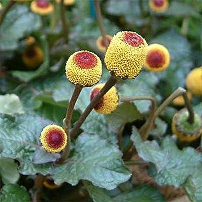 Toothache Plant- Spilanthes Oleracea- 100 Seeds- : Garden & Outdoor