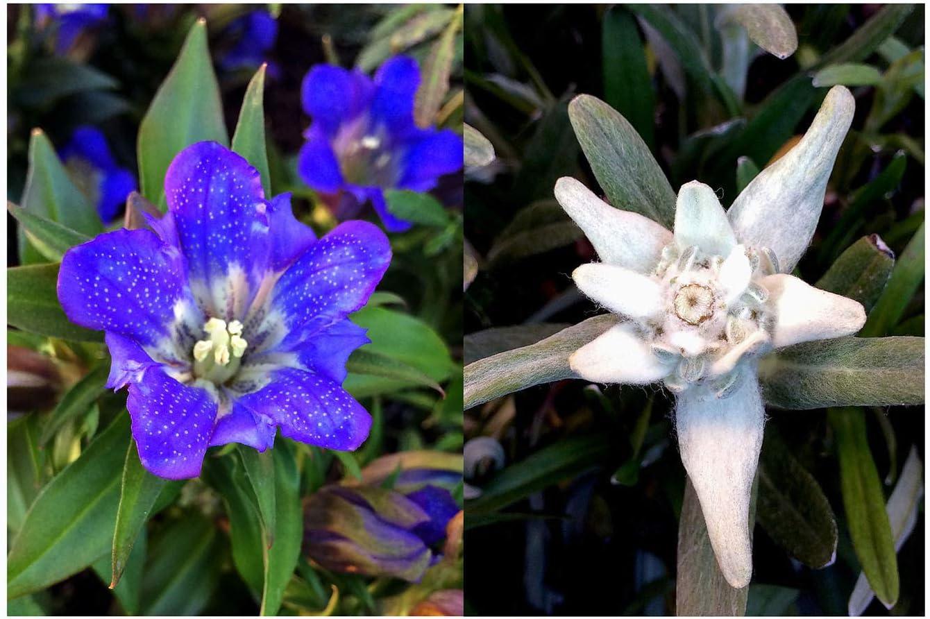 Edelweiss & genciana - set de semillas regalo con las dos flores alpinas probablemente más famosas: Amazon.es: Jardín