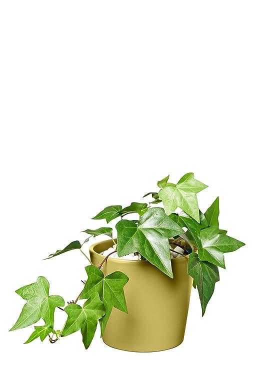 Efeu Zimmerpflanze evrgreen efeu zimmerpflanze in hydrokultur im set inkl