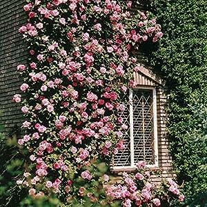 Escalada rosa Coral Dawn