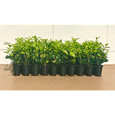 Ligustrum Waxleaf Privet Qty 20 Live Plants Evergreen Privacy Hedge : Garden & Outdoor