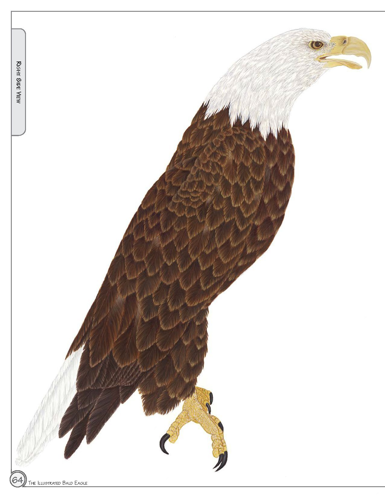 Illustrated Bald Eagle: The Ultimate Reference Guide for Bird Lovers ...