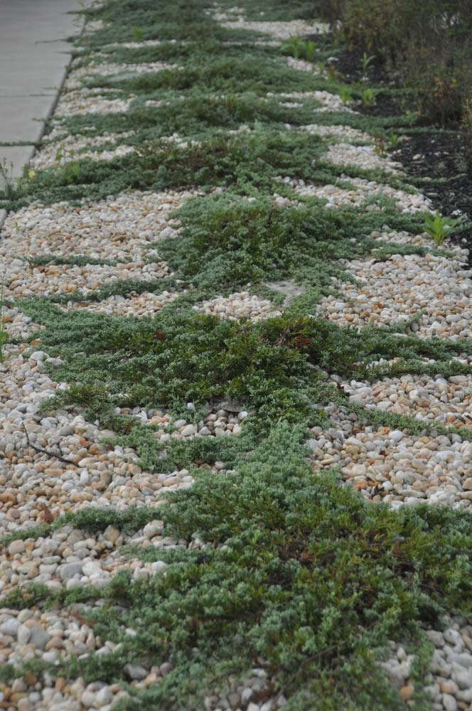 Sandys Nursery Online Juniper Blue Rug Ground Cover ~Lot of 30~4 inch Pot by Sandys Nursery Online (Image #5)
