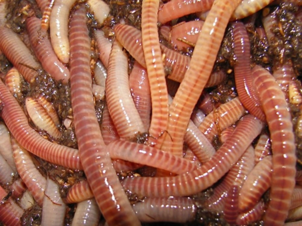 Nature's Little Recyclers 1/2 Pound European Nightcrawlers by Nature's Little Recyclers