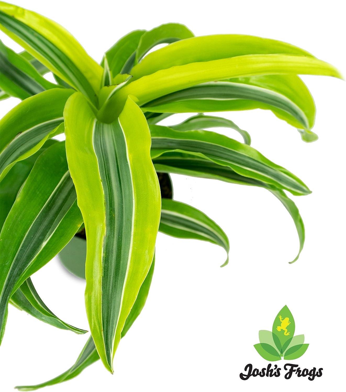 Dracaena fragrans Lemon Surprise 4 Pot