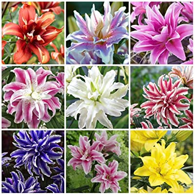 Humany flowerseeds- 50 Pieces Garden Tree-Lily Giant Lilies Seeds Royal Lily Flower Seeds Scented Flowers Seeds Hardy Perennial Lilies for Balcony/Garden : Garden & Outdoor