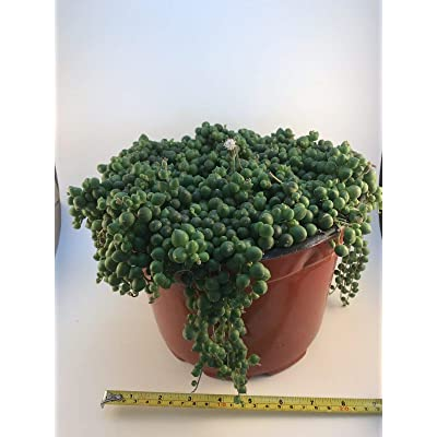 "AchmadAnam - Live Plant - Senecio Rowleyanus String of Pearls Full 8"" Pot Rare Succulent Plant : Garden & Outdoor"