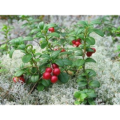 Vaccinium Vitis-IDAEA ' - Lingonberry - Starter Plant : Garden & Outdoor