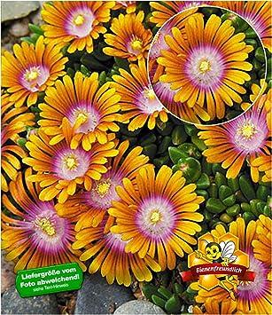Baldur Garten Bodendecker Delosperma Fire Spinner Eisblumen 3