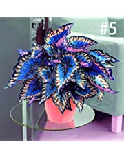 Imposes 100pcs/Bag Coleus Seeds Bonsai Flower Leaf Plants Rainbow Dragon Seeds Garden Sprouting Seeds