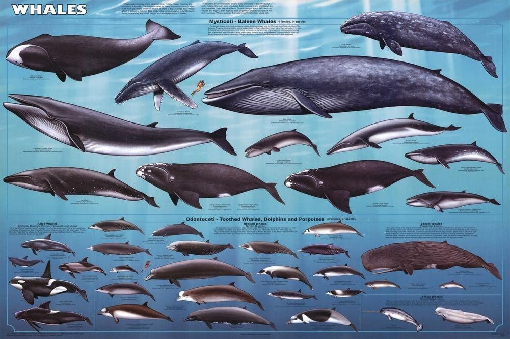 Laminated Whales Educational Chart Mammals Ocean Classroom Print Poster 24x36